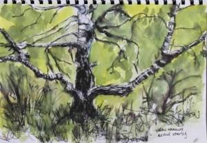 Silver birch, Highgate Common, Staffordshire, A4; ink & watercolour