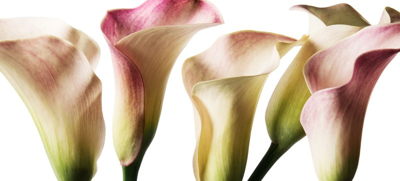 Cala Lily White Pink August 2016 Hero