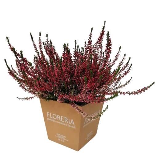 Vaso di Calluna rossa in una confezione di Floreria