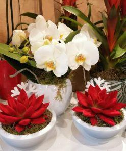 Echeveria in vetrina floreria