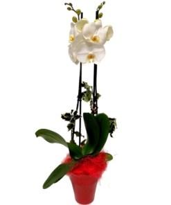 Phalaenopsis in confezione natalizia