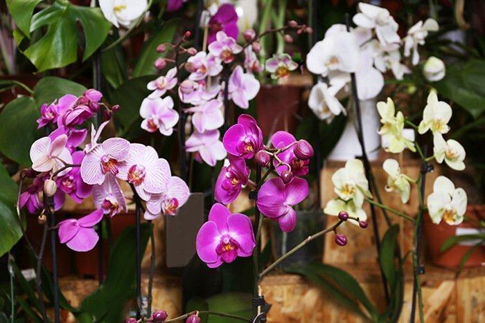 come curare le orchidee phalaenopsis colorate