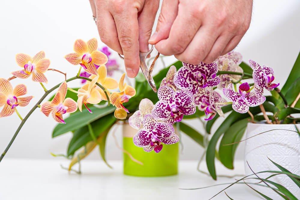 prendersi cura delle orchidee phalaenopsis