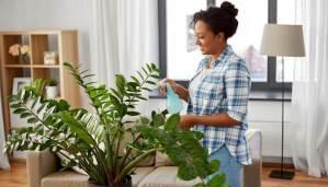 Zamioculcas cure e rimedi per coltivarla in casa tua