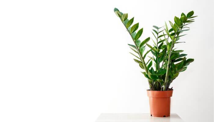 La luce diffusa aiuta la Zamioculcas nella crescita
