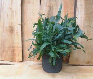 Un vaso con grande capacità di riserva idrica, consente al Phlebodium aureum di crescere corretamente