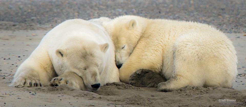 The Bears of Kaktovik:  Polar Bear Photography Tips & Tour Recap