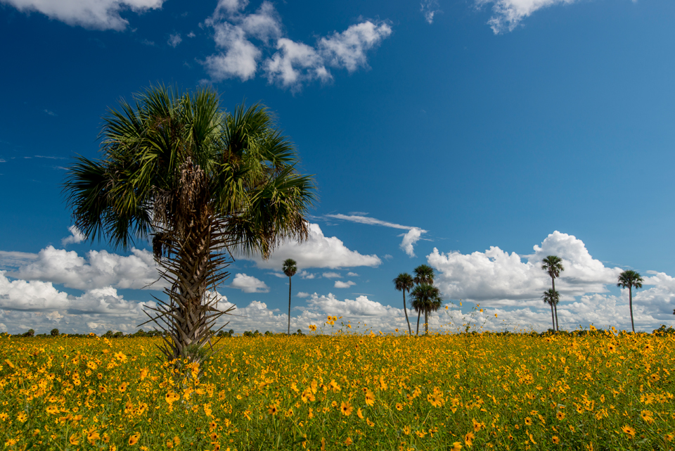 Sunflower Island (Lake Jesup Wildflowers at the Marl Bed Flats): Photo Tips & Guide