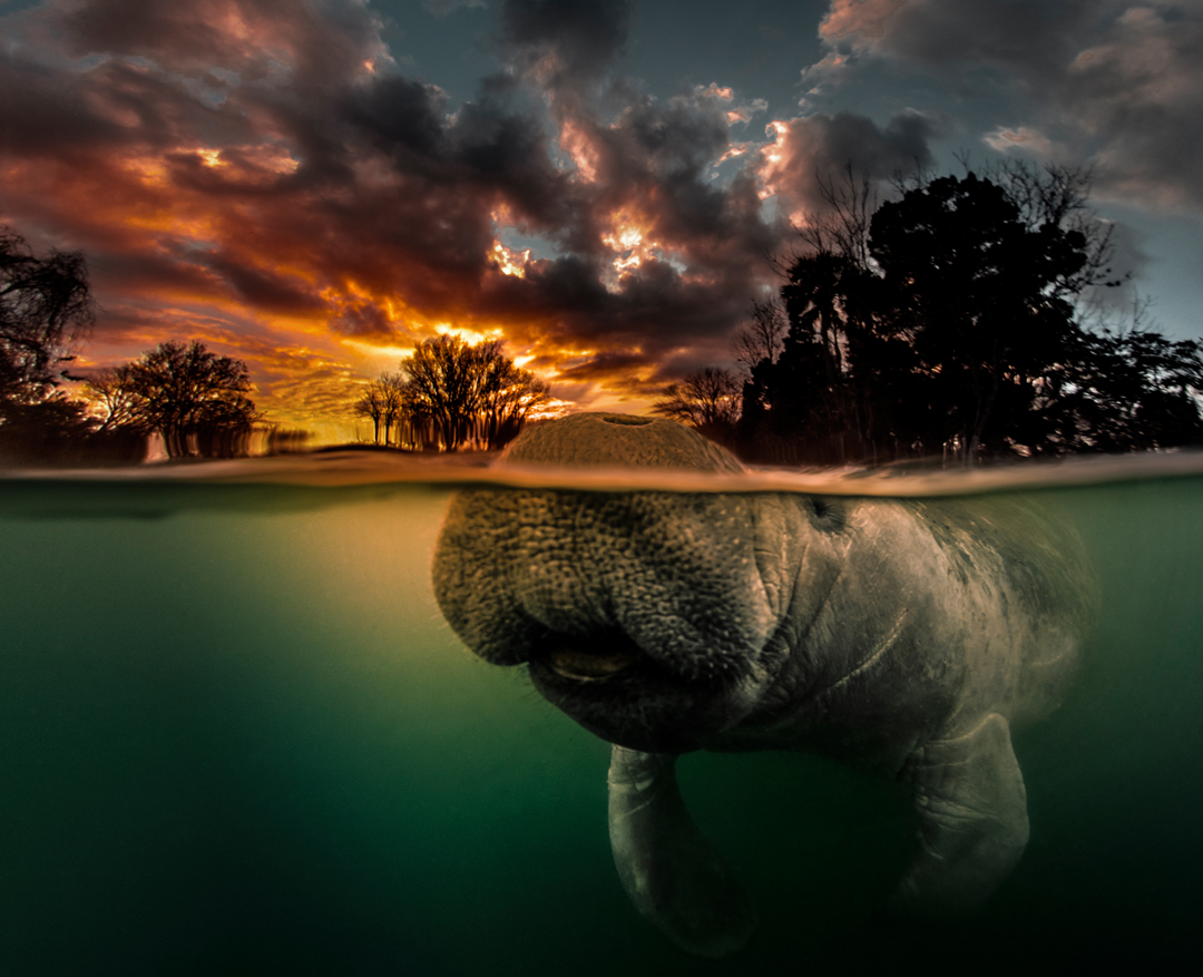 Manatee Photography:  Tips and Suggestions