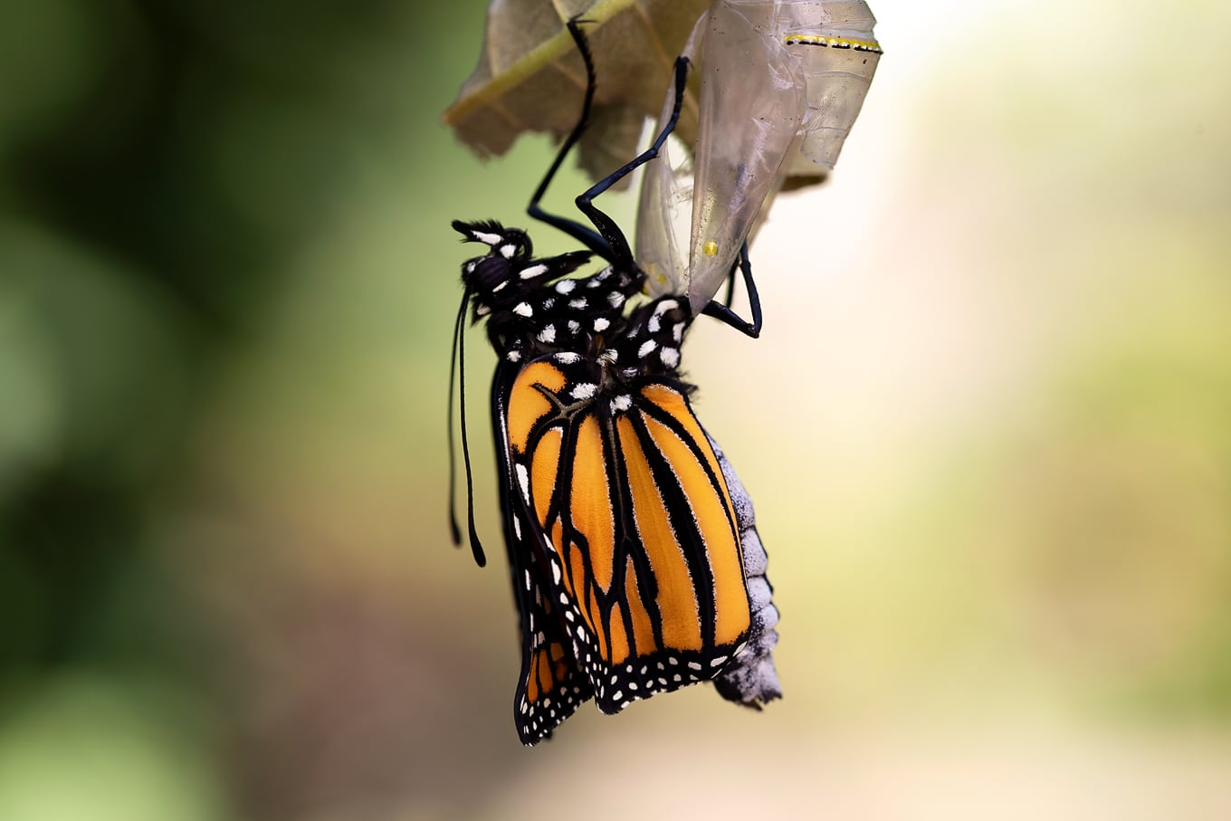 Newly Eclosed Monarch Butterfly