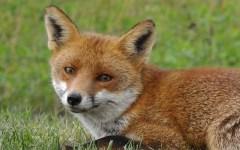Pisa, polemiche per la caccia alla volpe