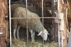 Blitz animalista contro la macellazione