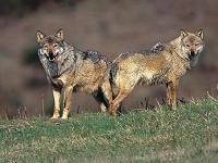 I lupi decimano i greggi maremmani