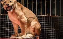 Gli animalisti contro i circhi, appello ai sindaci