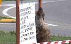 Maremma, macabra protesta con una testa di lupo