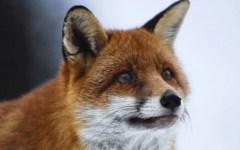 Pisa, la provincia ci ripensa: niente caccia alla volpe