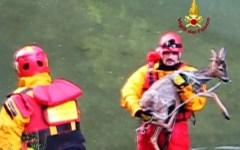 Lucca, capriolo rischia di annegare: salvato dai pompieri (VIDEO)