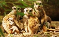 Zoo di Pistoia: nati cinque cuccioli di suricato, quelli del «Re Leone»