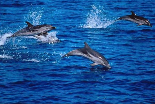 Un branco di delfini in un'immagine di repertorio