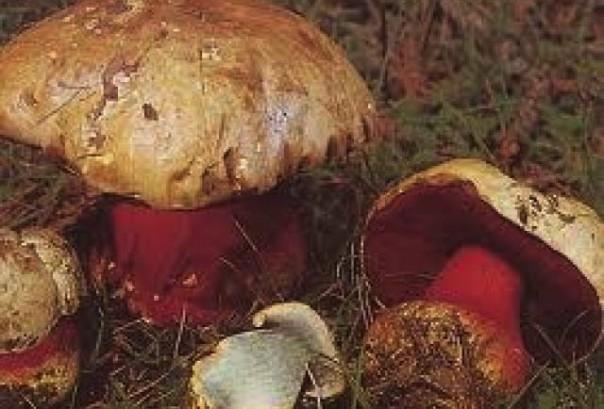 Il fungo velenoso Boletus Satanas