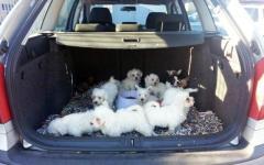 Arezzo, 14 cuccioli di cane nel bagagliaio senza cibo né acqua: denunciato un automobilista