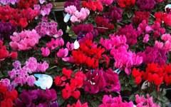 Commemorazione dei defunti, 2 novembre. Fiori, prezzi stabili per crisantemi: da 1 a 3 euro