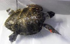 Grosseto, tartaruga con una lenza nel ventre: salvata dopo un'operazione di 4 ore