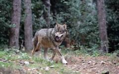 Mercatale Val di Pesa: lupo ucciso da un'auto in prossimità del paese