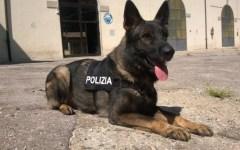Firenze, hashish a scuola: scoperta dai cani antidroga della polizia