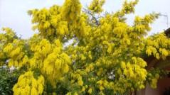 Albero di mimosa