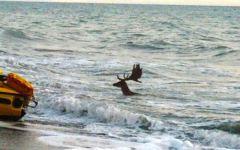 Livorno, daino in mare: salvato dai bagnanti a bordo di un pedalò