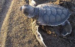Nascita delle tre tartarughe marine caretta caretta, Grosseto