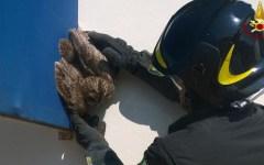 Firenze: rapace (un allocco) salvato dai vigili del fuoco. Era rimasto incastrato