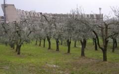 Firenze, Sollicciano:  ecco l' «olio degli incontri». Prodotto dai detenuti con gli uliveti del carcere