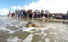 Grosseto: due tartarughe «caretta caretta» liberate in mare. Erano rimaste impigliate nelle reti dei pescatori
