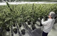 Firenze: alla farmacia del Madonnone la cannabis prodotta dall'Istituto chimico farmaceutico militare