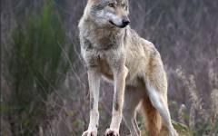 Suvereto, lupo ucciso e scuoiato: taglia da 30mila euro per trovare i responsabili