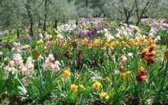 Firenze: riapre il giardino dell'iris, ossia il giglio simbolo della città. Fino al 21 maggio