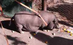 Firenze: maiale thailandese di 100 chili in strada all'Isolotto