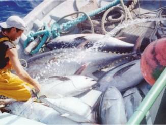 Ton balığı konservesi çiğ mi