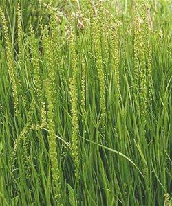 sea arrowgrass - wild sea veggies