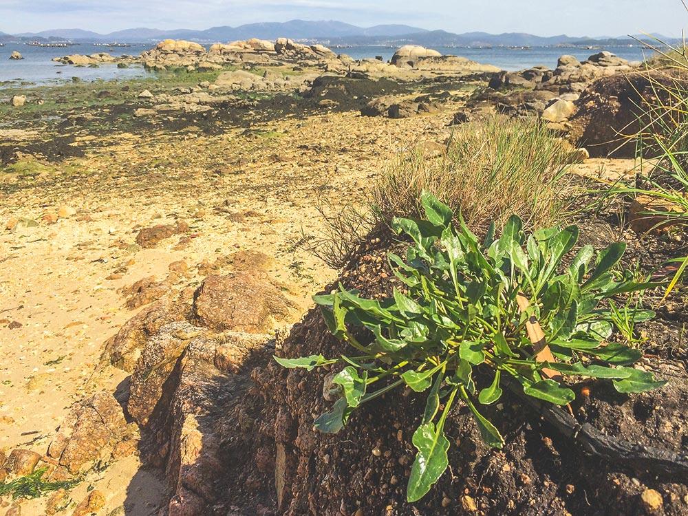 sea beet - wild sea veggies