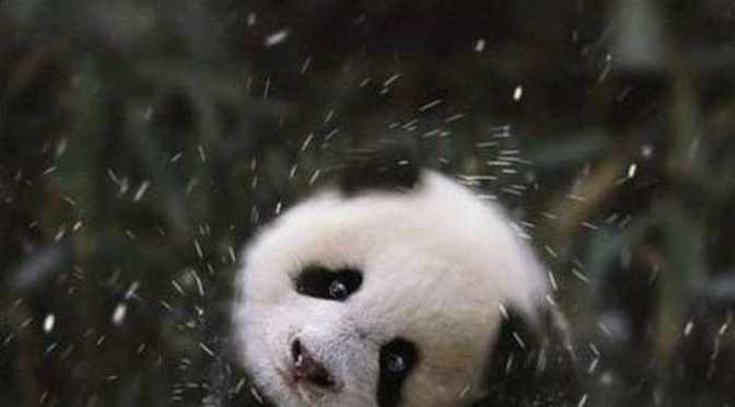 Panda plays in snow at National Zoo