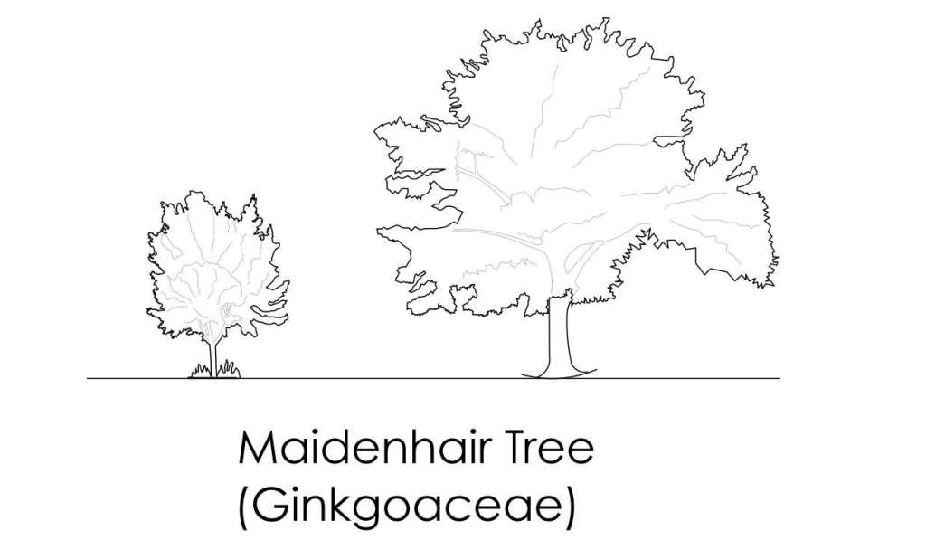 Maidenhair Tree cad block
