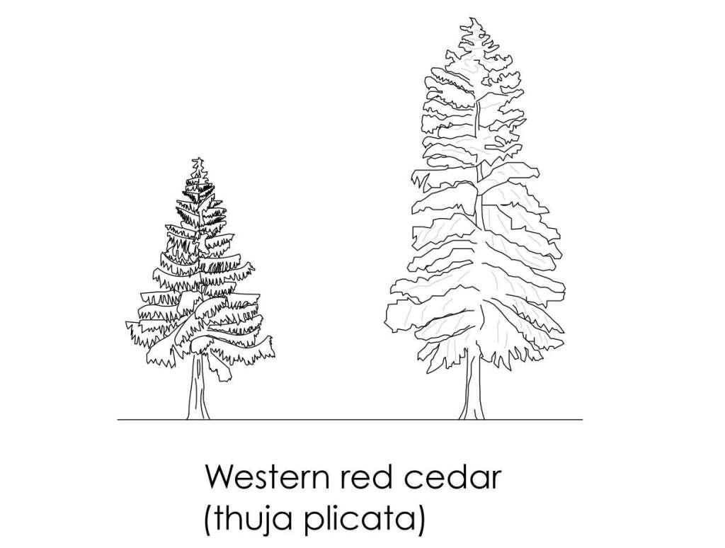 Western Red Cedar cad block