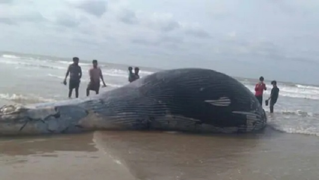 36feetlong whale carcass washes up on Mandarmani beach in West Bengals East Midnapore district