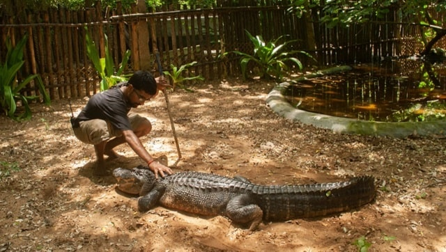 The Zai Whitaker column  A second lockdown despatch from the Madras Crocodile Bank