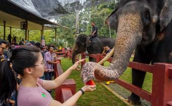 彭亨大象保育中心 | 与亚洲大象近距离喂食和洗澡!