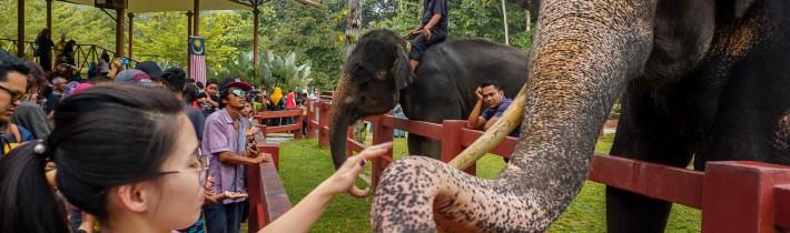 彭亨大象保育中心   与亚洲大象近距离喂食和洗澡!