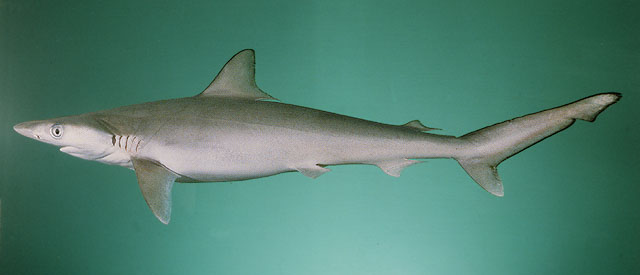 Milk shark, image by Randall, John E.
